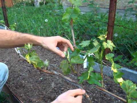 Cколько гроздей винограда надо оставлять на одном побеге, нормировка виннограда