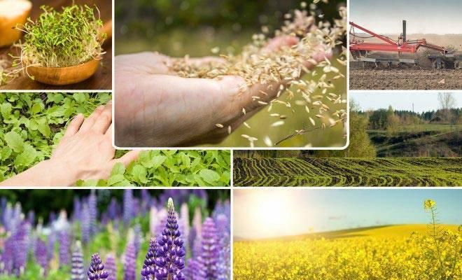 Сидераты для картофеля: какие лучше посадить весной, что сеют после картошки осенью под зиму, можно ли применять рожь и кукурузу для повышения плодородия?