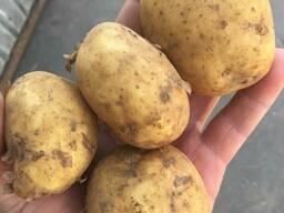 картофель «уладар» — ранний, вкусный, урожайный