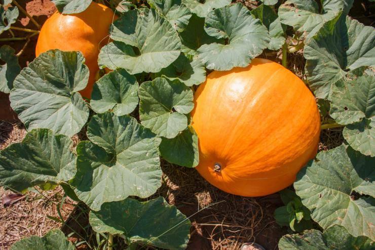 Выращивание тыквы в открытом грунте. как прищипывать и поливать тыкву