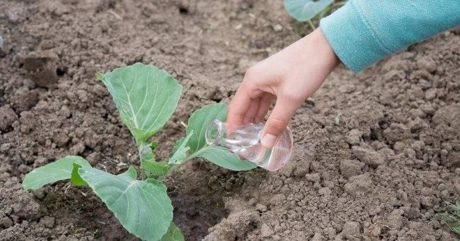 Можно ли сажать семена капусты сразу в открытый грунт? как это сделать правильно?