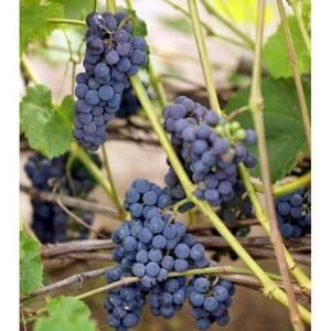 Сорт винограда «альфа»: описание и фото, секреты выращивания