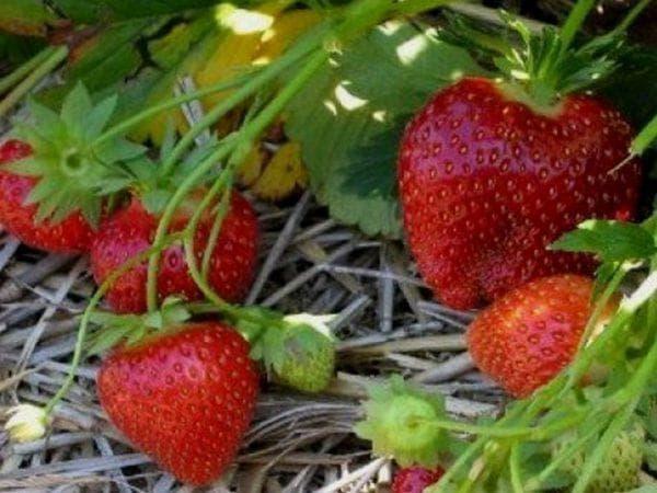 Клубника хоней: описание популярного сорта и особенности выращивания и ухода за ягодой