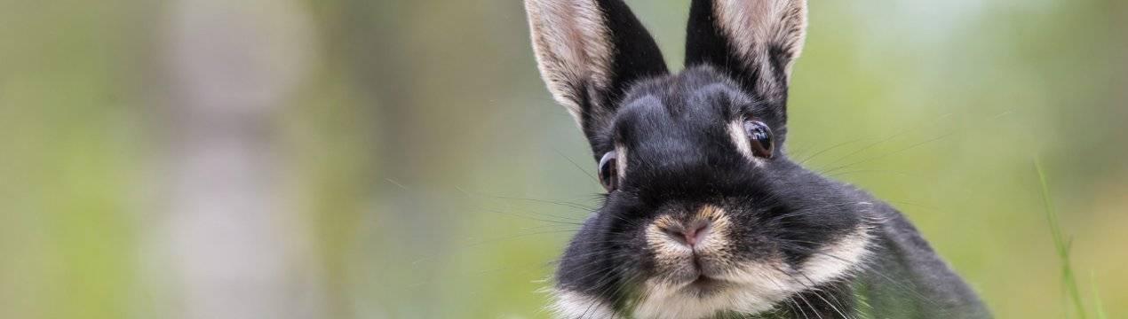 Вздутие живота (тимпания) у кролика