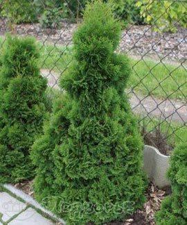 О туе Микки западная: описание сорта, как посадить и ухаживать за растением
