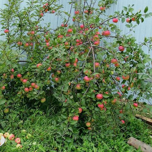 Характеристика и описание сортов карликовых яблонь