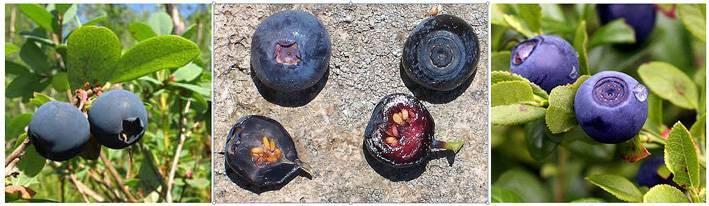 Черника и голубика в чем разница — ягоды грибы