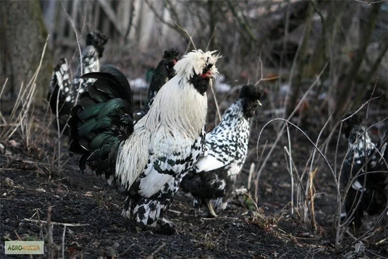Удивительное сочетание декоративности и яйценоскости — павловская порода кур