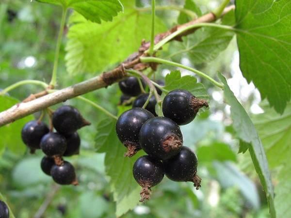 Почему осыпаются ягоды у смородины: как бороться за урожай и обзор основных причин. методы лечения, профилактика и борьба с вредителями (80 фото)