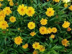 Яркий кореопсис — частичка солнца в цветнике