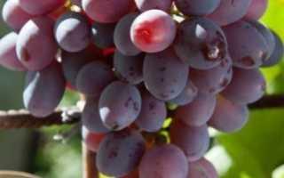 Виноград оригинал: описание и особенности сорта, посадка и уход, советы садоводов