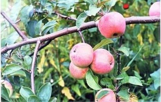 Яблоня августа: описание сорта и фото, особенности посадки и выращивания