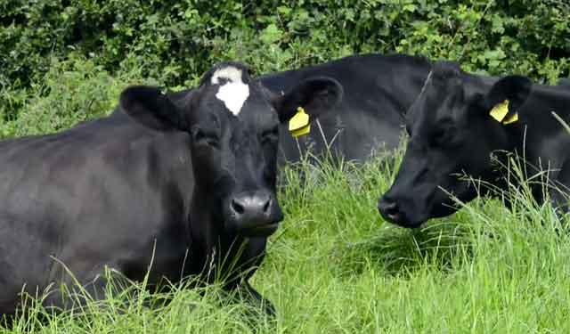 Сколько литров молока в сутки дает корова