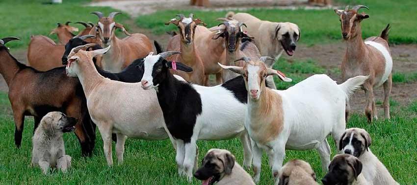 Особенности молочных пород коз