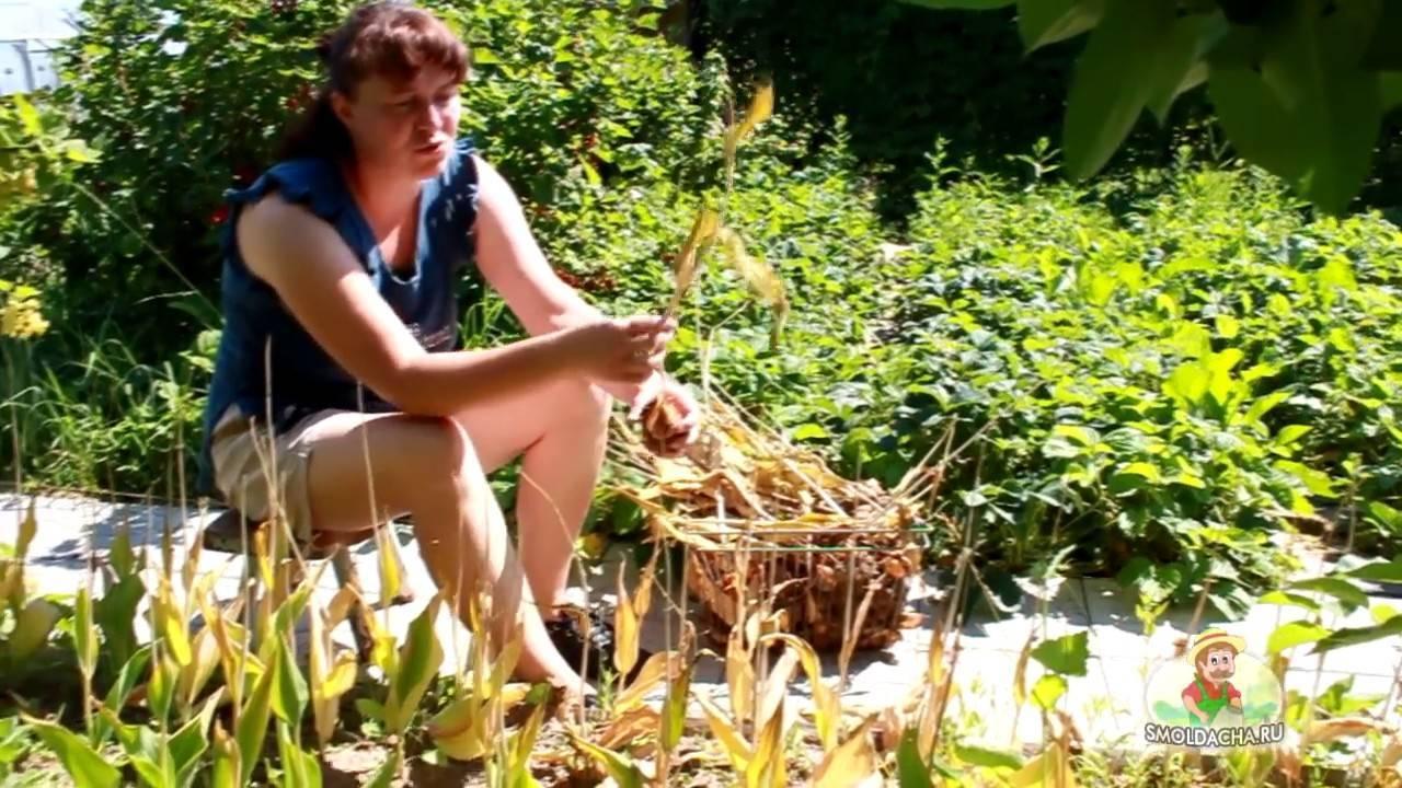 Как хранить тюльпаны до посадки? когда выкапывать луковицы тюльпанов
