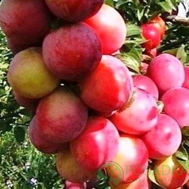 Персиковая слива: описание сорта, особенности выращивания, отзывы