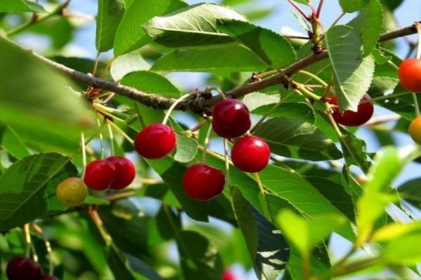 Как заставить вишню плодоносить?