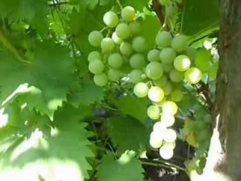 Виноград дружба: описание, посадка, выращивание и отзывы о сорте