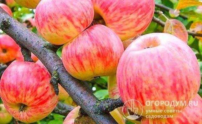 Сорт яблок с поразительной зимостойкостью — коричный новый
