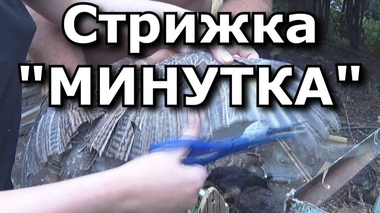 Как правильно и безболезненно обрезать крылья курам и другим домашним птицам, чтобы они не летали?