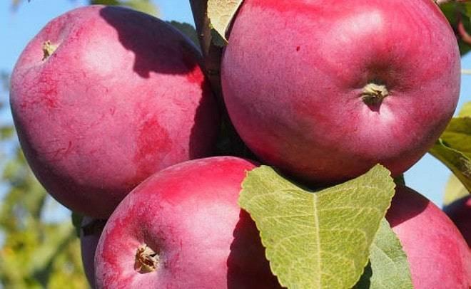 Описание и характеристики сорта яблонь спартак, особенности посадки и выращивания