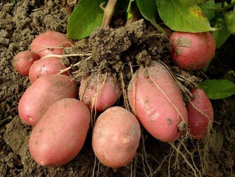Высокоурожайный сорт картофеля «ермак» с розоватой кожурой