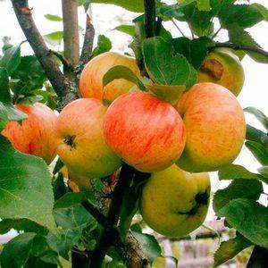 Яблоня — коричное полосатое — (21 фото): описание сорта яблок, срок жизни и высота дерева домашней яблони, посадка и уход, отзывы