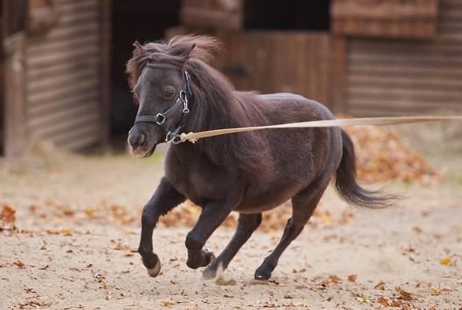 Миниатюрные лошади (фото), происхождение породы мини лошадей, характер темперамент рост лошадь для детей уход кормление содержание прогулки чистка шерсти, породы лошадей