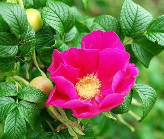 Роза превратилась в шиповник что делать