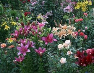 Тонкости и нюансы посадки лилий и ухода за ними: полный обзор технологии выращивания