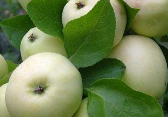 Подробное описание яблони «папировка»: фото, отзывы