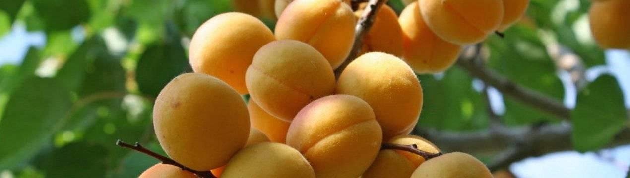 Особенности выращивания абрикоса монастырский и ухода за ним