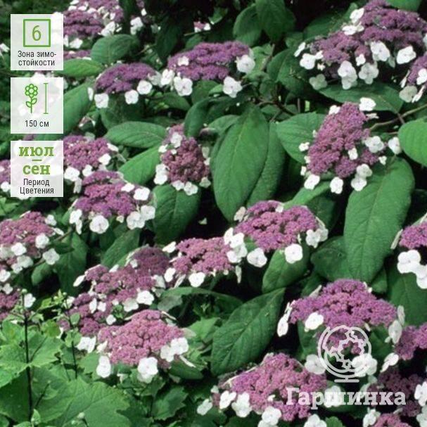 Гортензия древовидная (60 фото): посадка и уход в открытом грунте, лучшие сорта с названиями, размножение, обрезка и болезни