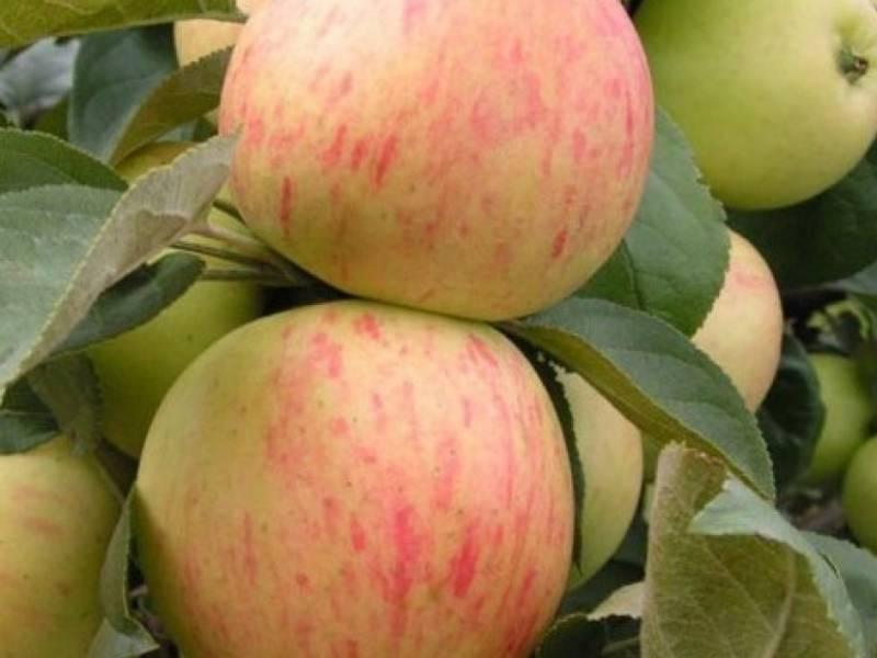 Уникальные характеристики и правила агротехники яблони богатырь
