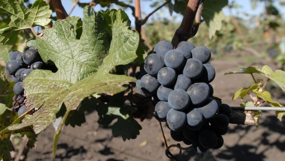 Алтайская роза — виноград