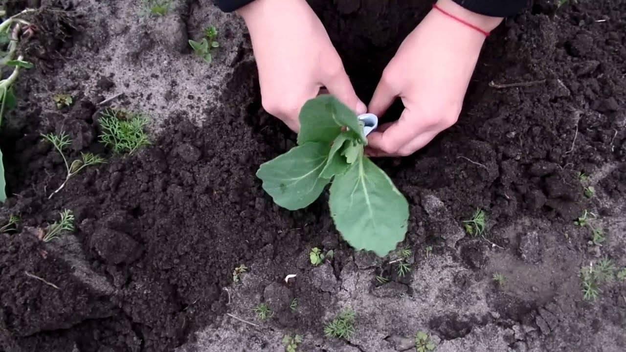 Выращиваем рассаду белокочанной капусты дома