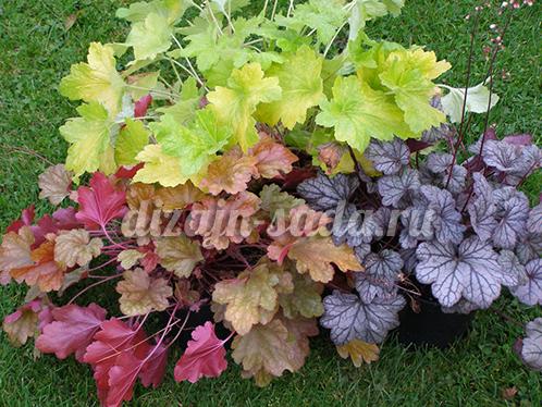 Выращивание гейхеры в саду: правила посадки и ухода в открытом грунте, способы размножения