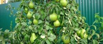 На какой год плодоносит виноград выращенный из косточки