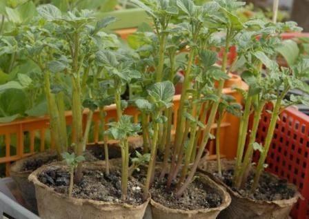 Своя картошка уже в июне: секреты раннего урожая