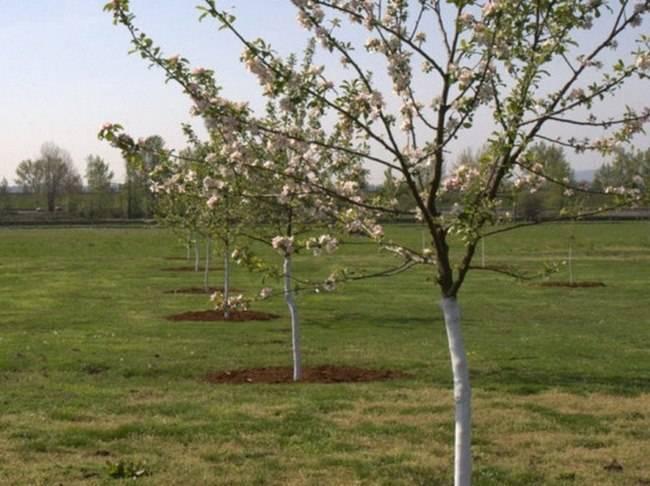 Чтобы двулетники зацвели в первый год. нужно ли в первый год цветения обрывать цветки у яблони