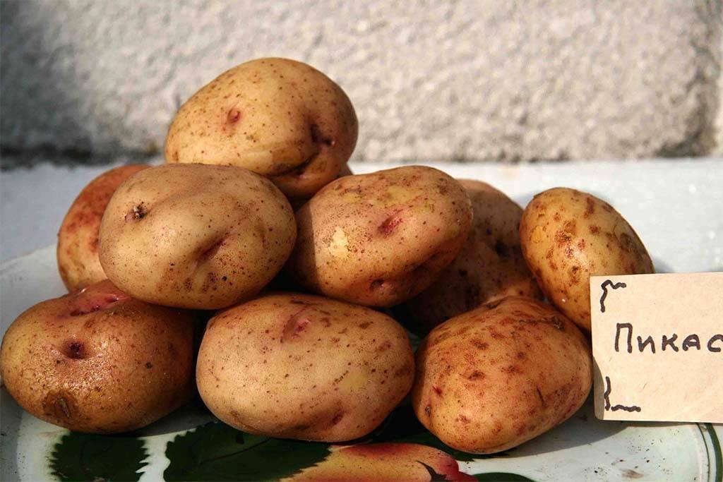 Описание картофеля пикассо и его характеристика с фото и отзывами