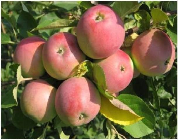 О яблоне юнга: описание сорта, характеристики, агротехника, выращивание