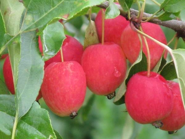 Яблоня китайка золотая – особенности выбора саженцев, посадка и уход