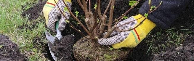 Посадка черешни весной: сроки и правила высадки саженцев в открытый грунт