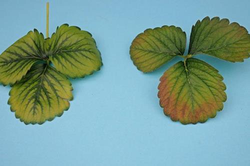 Болезни клубники: фото, описание, лечение