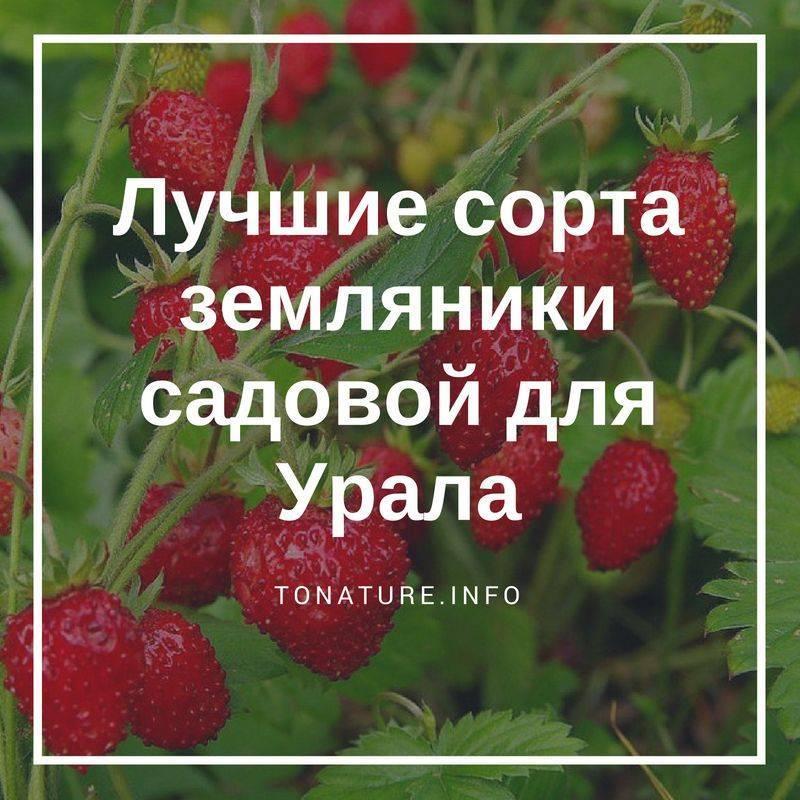 Какие сорта клубники выращивать в сибири?