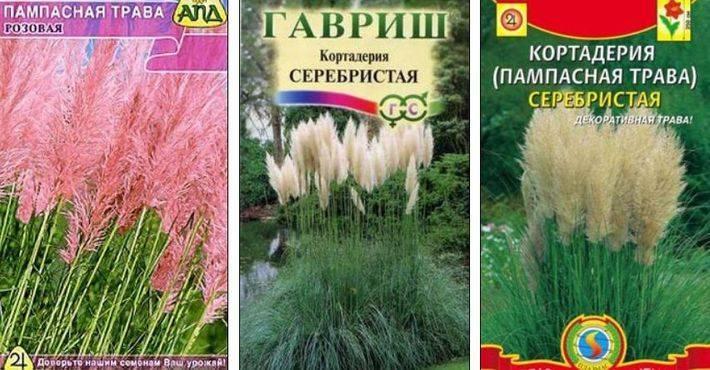 Пампасная трава - все секреты выращивания » женский мир