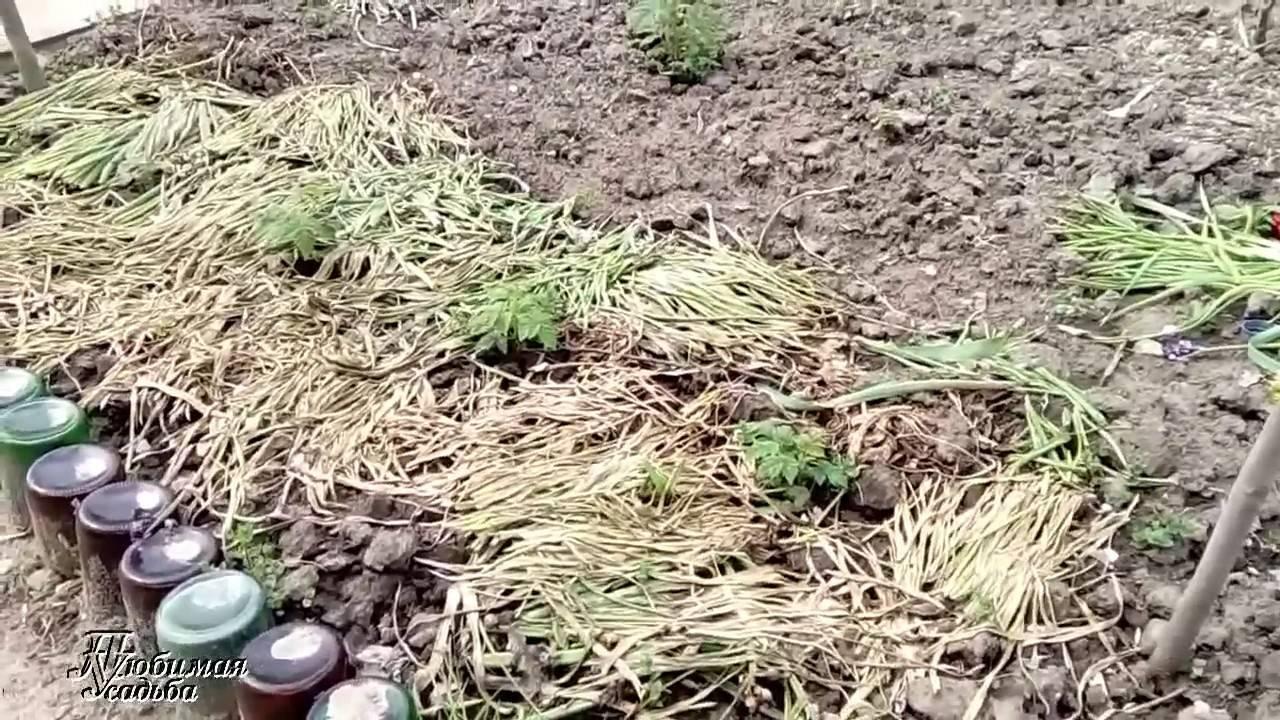 Способы размножения малины и уход за растением
