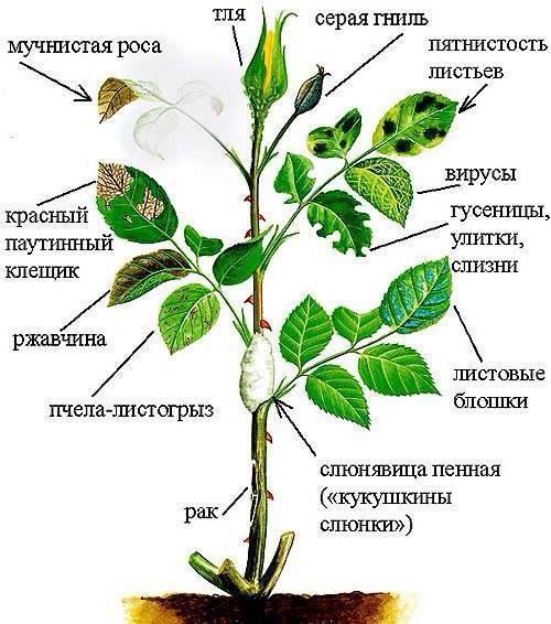 Комнатная роза – болезни и вредители в борьбе с любящим владельцем