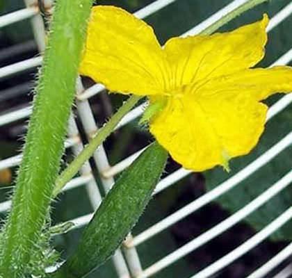 Все о том, почему завязь огурцов становится желтой, засыхает и опадает